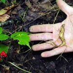 The Government's Ginseng Circus: A Microcosm of Regulatory Insanity