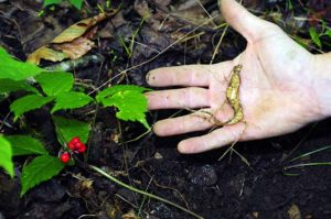 Ginseng plant and root